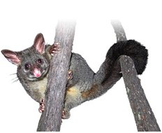 For Possums